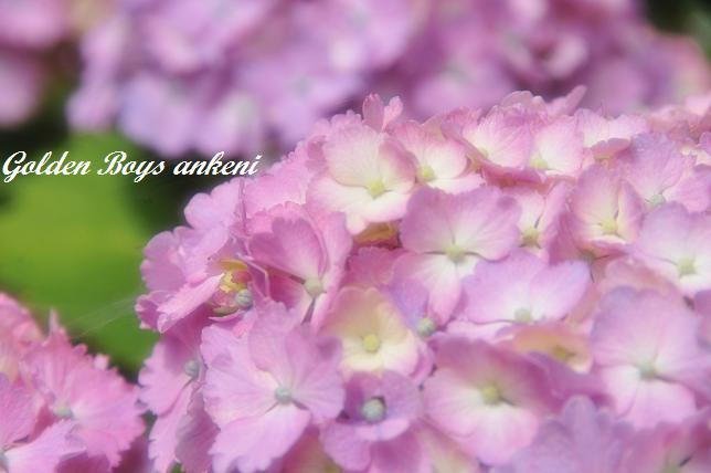 040  紫陽花