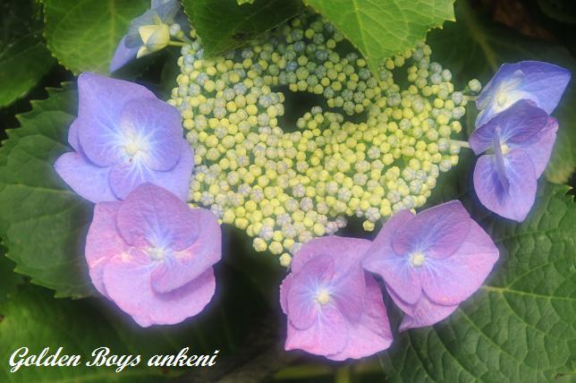 043  紫陽花