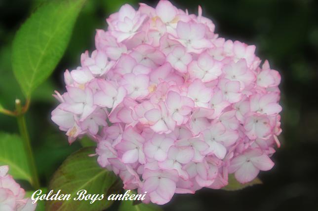 052  紫陽花