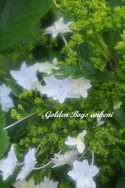 057  紫陽花