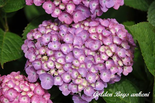 381  紫陽花