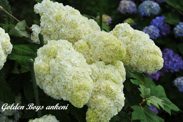 402  紫陽花