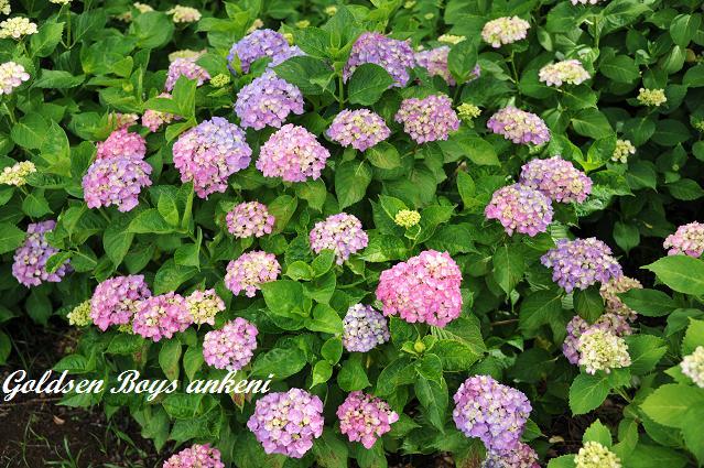 404  紫陽花