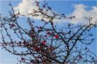 (9)朝の散歩の時に撮った「青い空と白い雲と紅梅と・・・」~♪