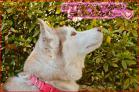 (7)3月に成れば、きっと沈丁花も咲いて、良いにおいを庭中に~♪DSC_4890e.jpg