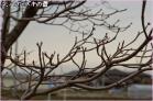 (2)散歩コースのハナミズキ並木のつぼみも~♪DSC_7990e.jpg