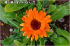 (5)隣の隣の玄関先の小さな可愛い花~♪DSC_8006e.jpg