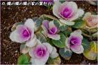 (6)そのまた隣の家の庭先の花?♪DSC_8009e.jpg