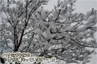 (8)街路樹のハナミズキにも雪が積もって~♪DSC_8469e.jpg