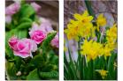 (7)近所の花の好きな「フラワーおばちゃん」の庭の花~♪DSC_8890f.png