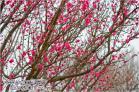 (5)芝生の広場の奥の梅林が咲き始めていました~♪