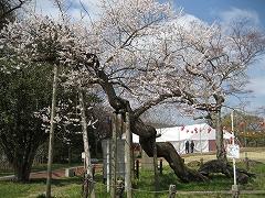 西公園2012.4.15