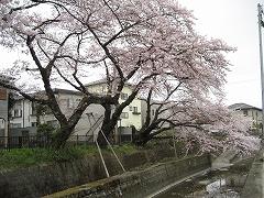 七郷堀2012-4-22-5