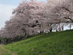 一目千本桜2012.4.25-1