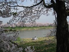 一目千本桜2012.4.25-3
