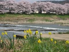 一目千本桜2012.4.25-4