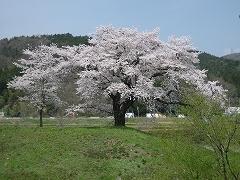 一目千本桜2012.4.25-5