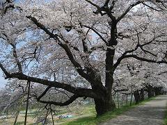 一目千本桜2012.4.25-6
