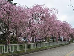 榴岡公園2012.4.25-2