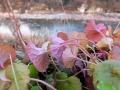 カキドオシの葉