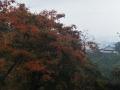 色付く山桜