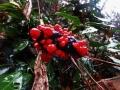 マムシグサの果実