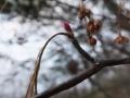 アブラツツジの芽と果実