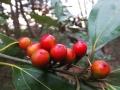 シロダモの果実