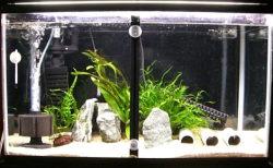 インペリアルゼブラプレコ繁殖水槽