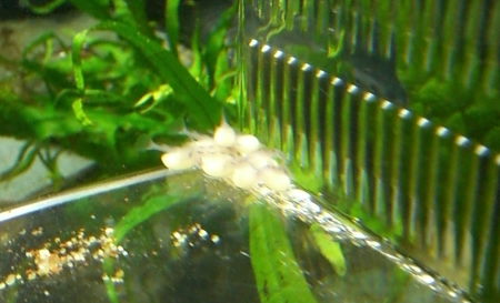 インペ 稚魚 第4期