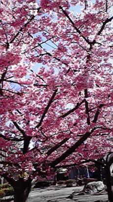 pink-sakura.jpg