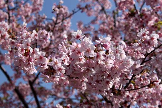 伊東小室桜 花いっぱい