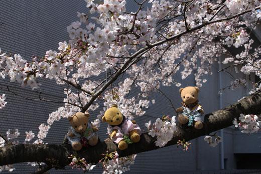 桜の枝の上で0405