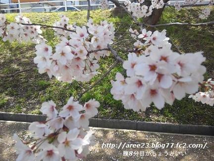 2012年の桜⑤