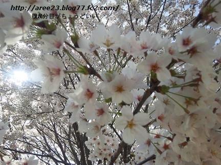 2012年の桜④