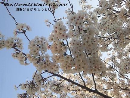 2012年の桜②