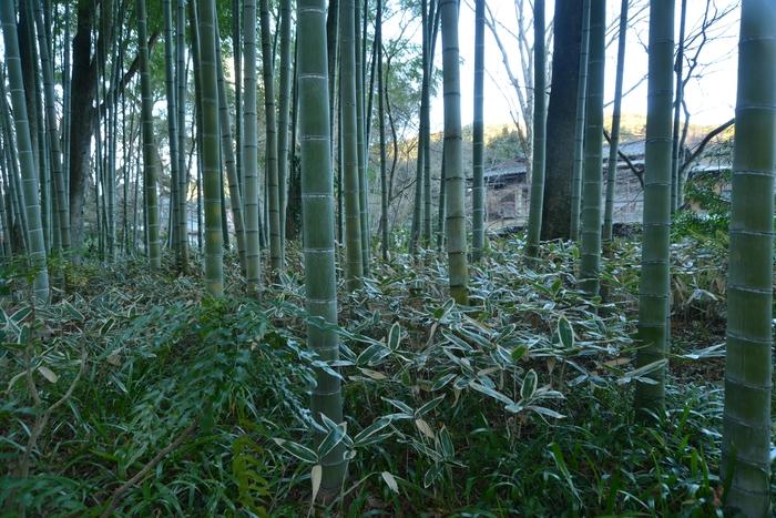 朝の竹林-1