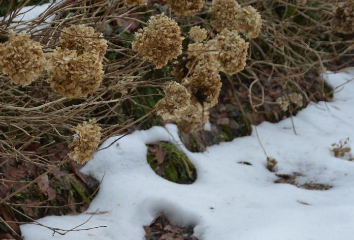 冬の紫陽花-1