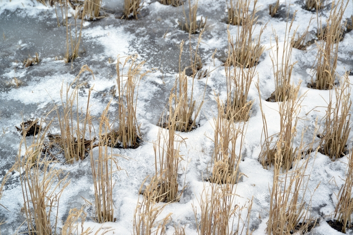 冬の田-3