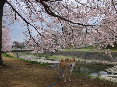 2011桜5