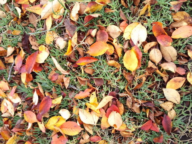 西湖の落ち葉