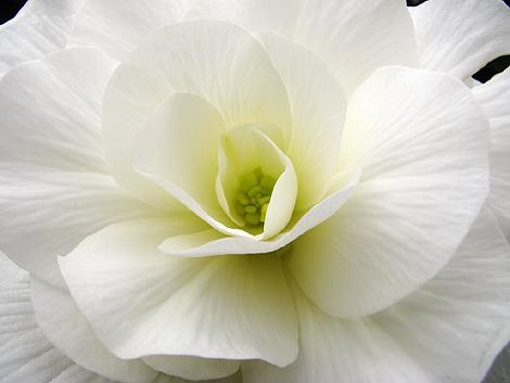 begonia-1001-470.jpg