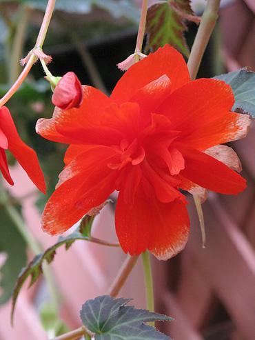 begonia-1005-370.jpg
