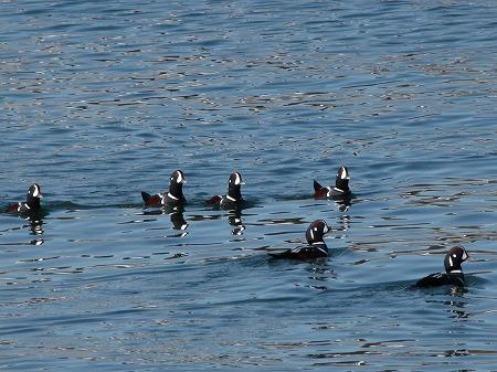 群れで泳ぐシノリガモ
