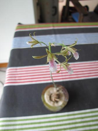 蘭の花1 立ち姿