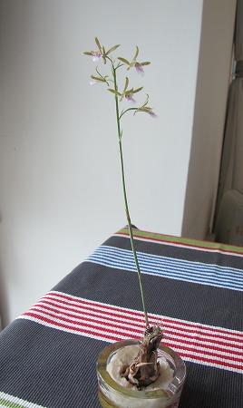 蘭の花2 立ち姿