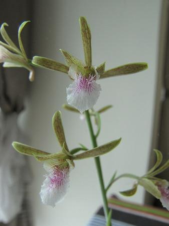 蘭の花3 拡大