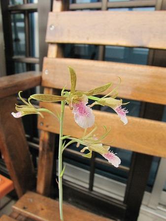 蘭の花4 拡大