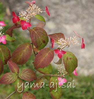 IMG_3714yamaajisai.jpg