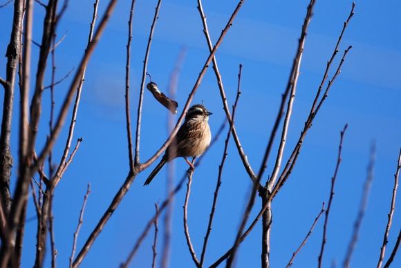 ホオジロ 成鳥♀